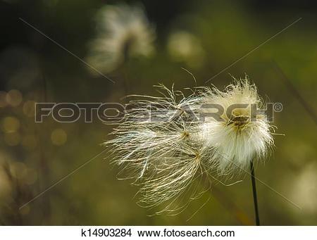 Stock Photo of common cotton grass k14903284.
