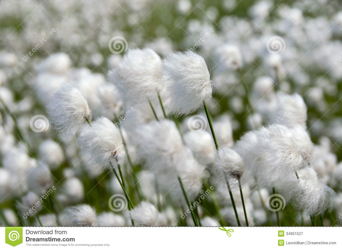 Cotton Grass. Royalty Free Stock Photography.