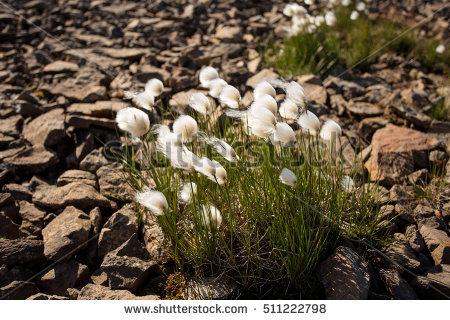 White Cotton Grass Stock Photos, Royalty.