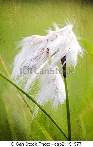 Picture of common cottongrass (Eriophorum angustifolium.