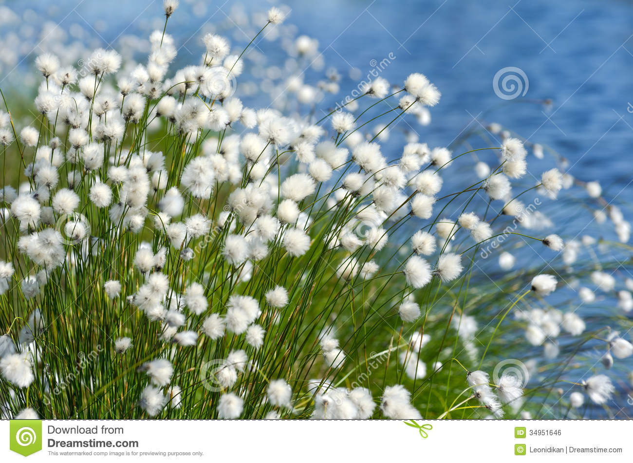 Flowering Cotton Grass Royalty Free Stock Image.