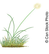 Cottongrass Illustrations and Clipart. 2 Cottongrass royalty free.