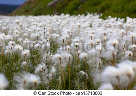 Stock Photography of Arctic Cotton Grass in Iceland.