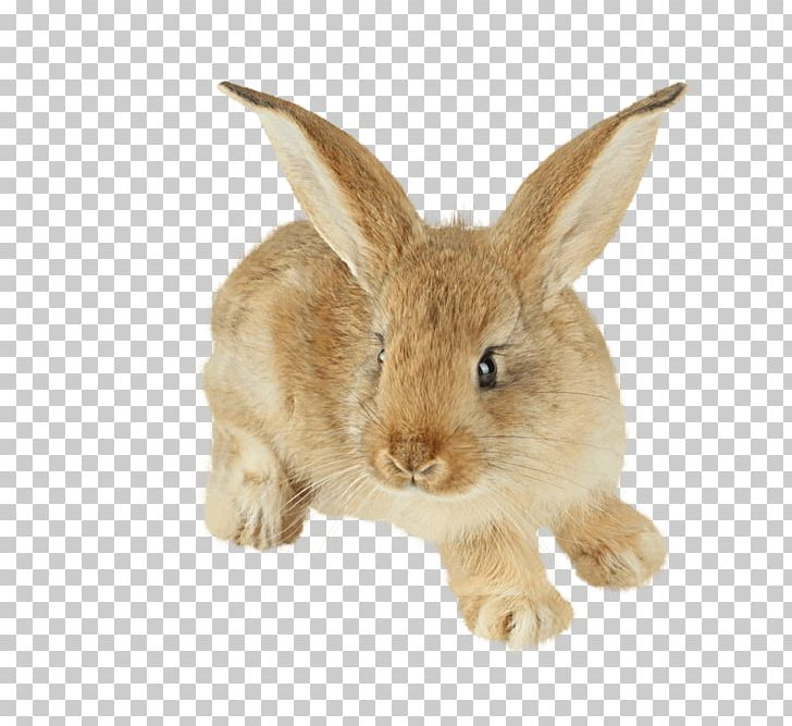 Easter Bunny Hare Cottontail Rabbit Domestic Rabbit Baby.