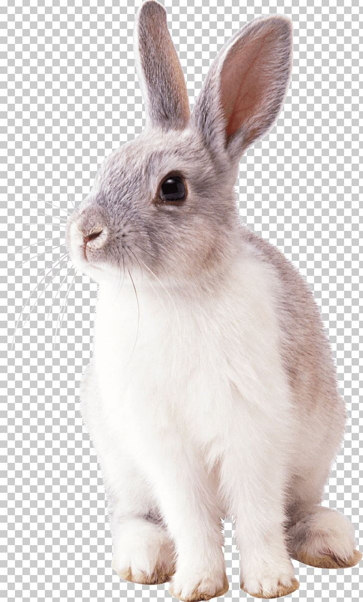 Cottontail Rabbit Easter Bunny PNG, Clipart, Animals, Clip.
