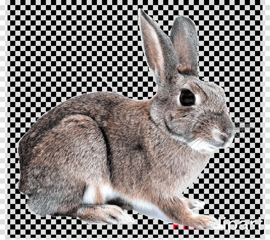 rabbit mountain cottontail domestic rabbit audubon\'s.