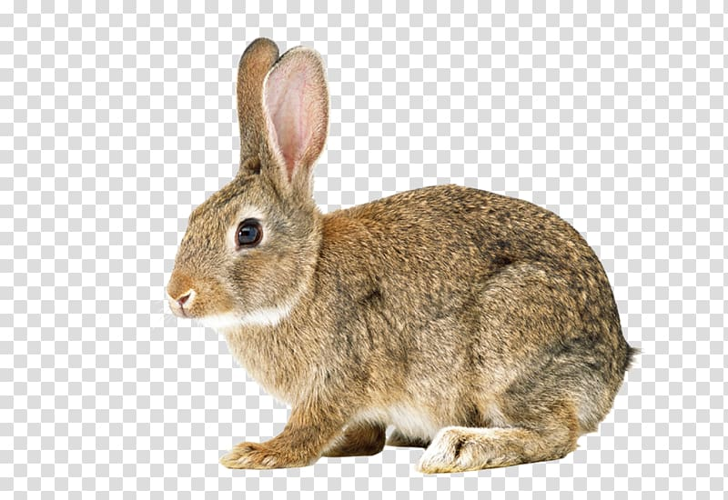 Hare Easter Bunny Cottontail rabbit Bunnies & Rabbits.