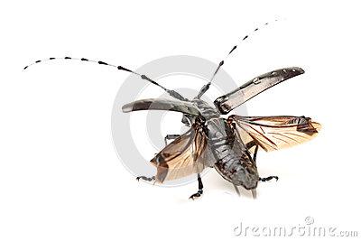 Cottonwood Borer Beetle Stock Photo.