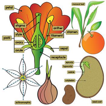 Parts of a Plant Clip Art.