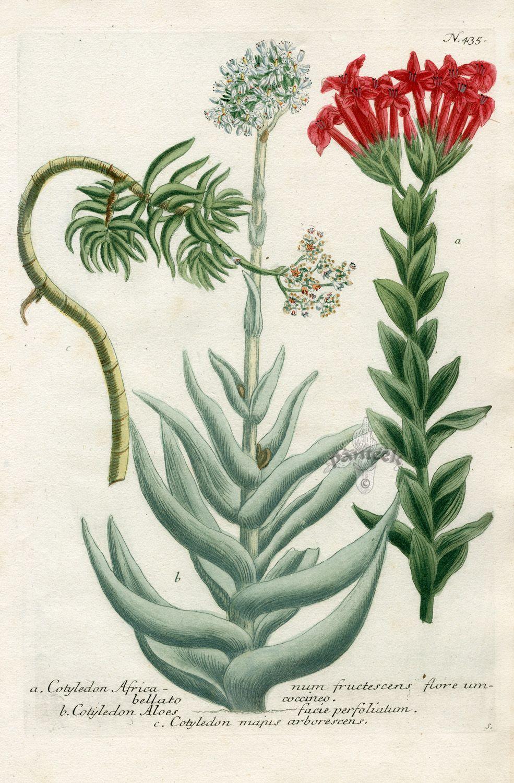Cotyledon Africanum fructescens flore (985×1500).