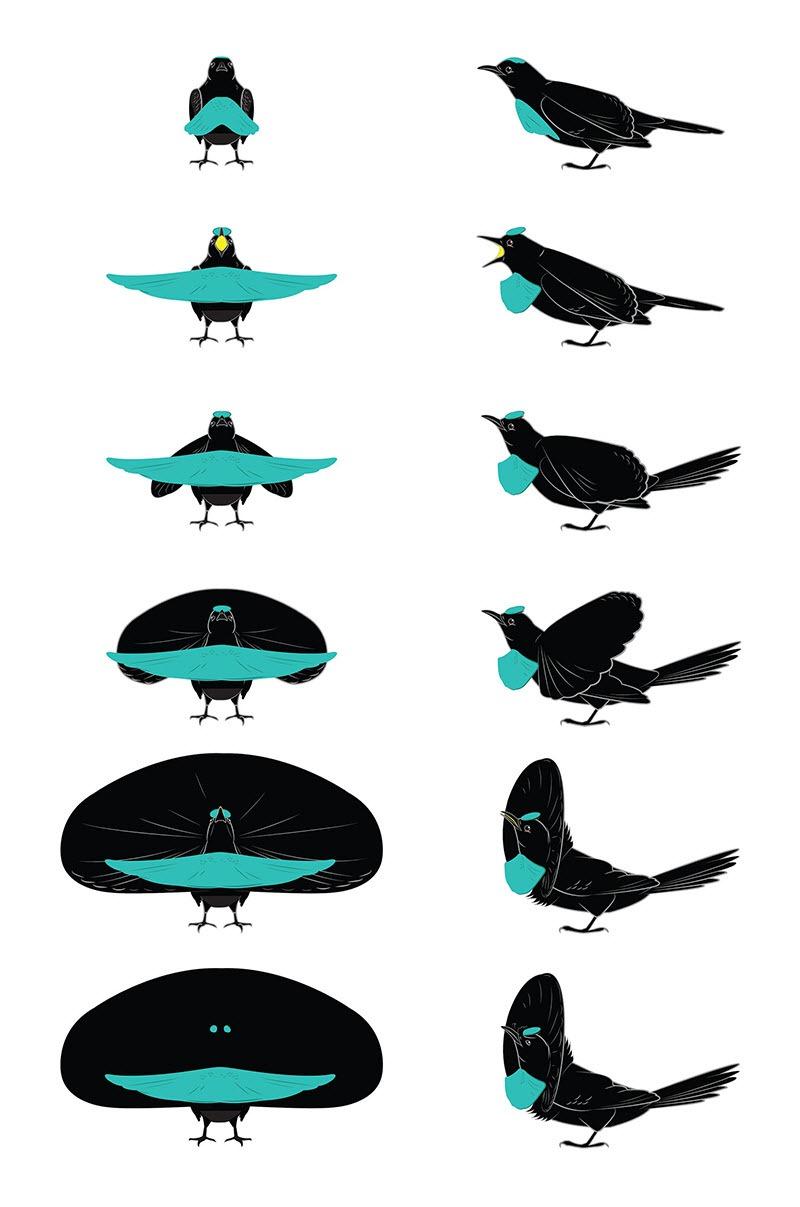Watch The Superb Bird.