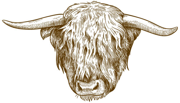 Highland Cattle Illustrations, Royalty.