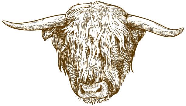 Highland Cattle Illustrations, Royalty.