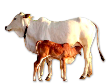 Indian Cow Png Vector, Clipart, PSD.