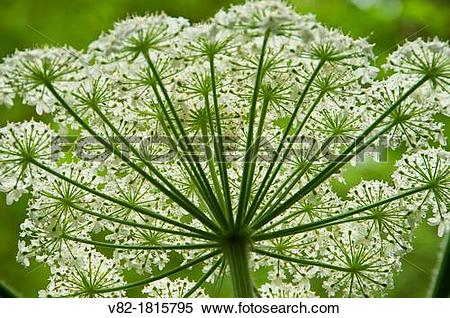 Stock Image of Cow parsnip along Bell's View Trail, Cape.