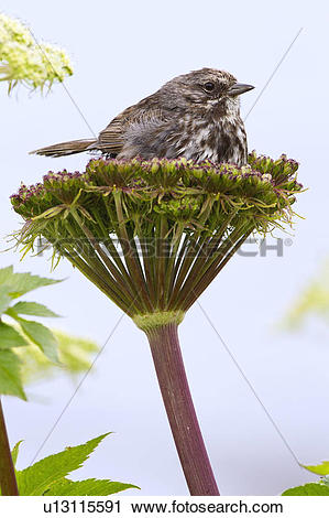 Stock Photography of Song sparrow (Melospiza melodia), on cow.