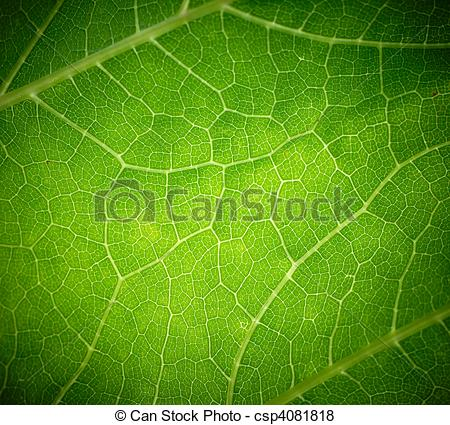 Pictures of Cow parsnip green leaf texture. csp4081818.