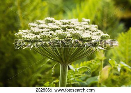 Stock Image of A Pushky, Or Cow Parsnip, Flower; Unimak Island.