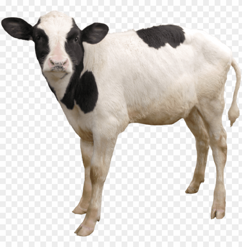 cow png, download png image with transparent background,.