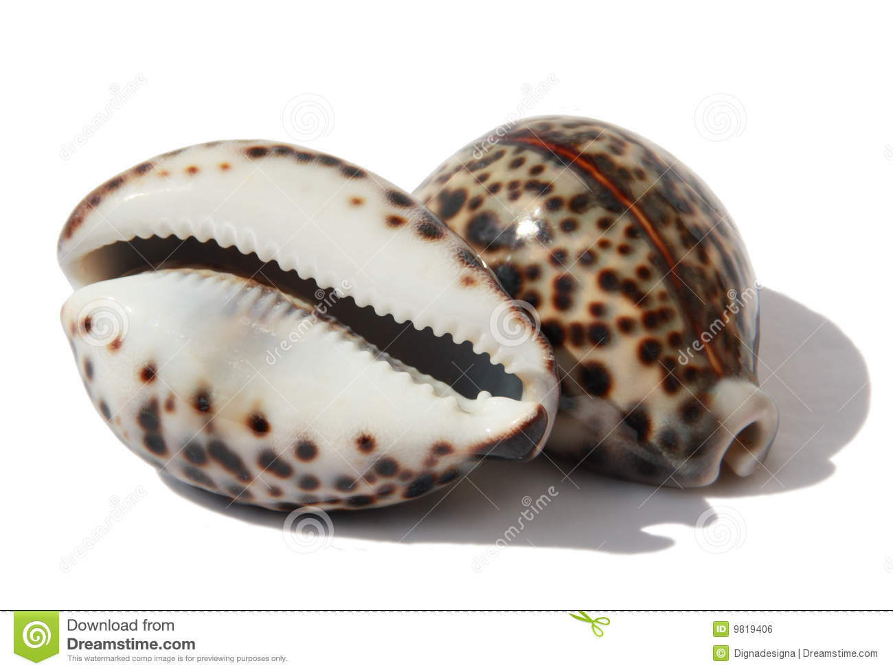 Cowrie Stock Photos, Images, & Pictures.