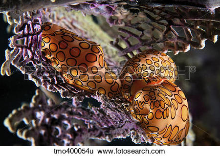 Stock Images of Mating Flamingo Tongue Cowries on a purple sea fan.
