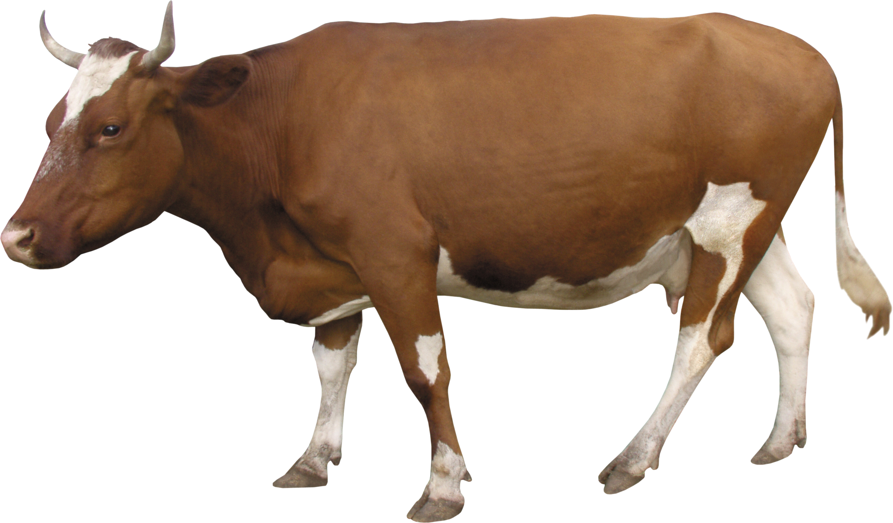 Download Free png Cow PNG image, free cows PNG picture download.
