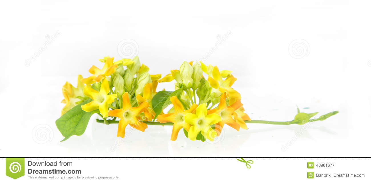 Cowslip Flower , Cowslip Creeper Flower Stock Image.