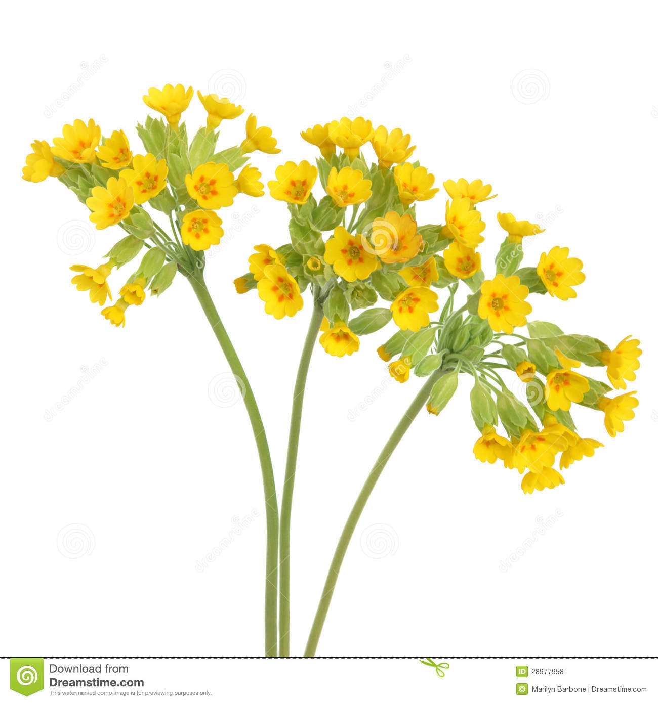 Cowslip Flowers Royalty Free Stock Photos.