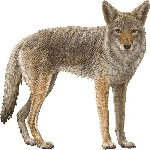 Coyote clipart picture / Large.