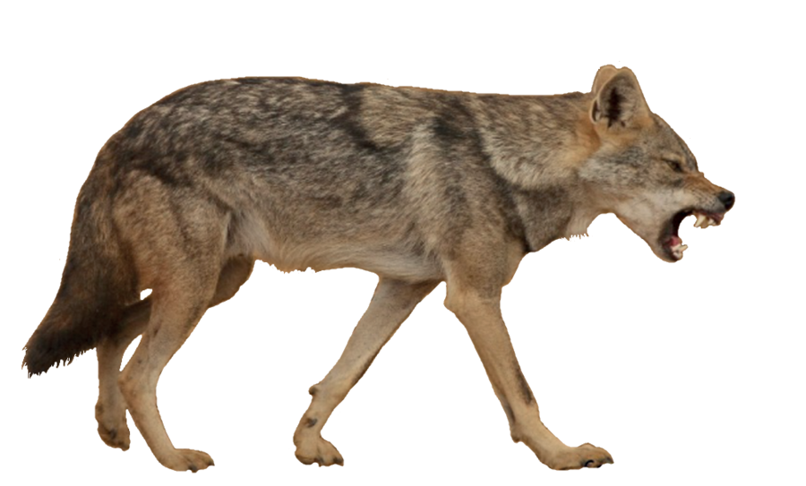 Coyote clipart brown wolf, Coyote brown wolf Transparent.
