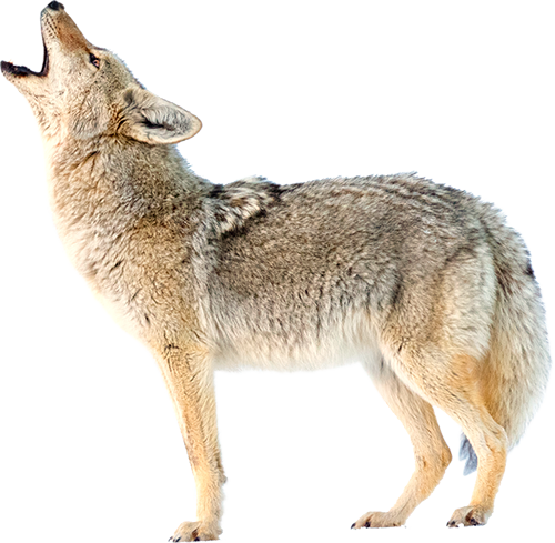 Coyotepng Coyote Png Vector, Clipart, PSD.