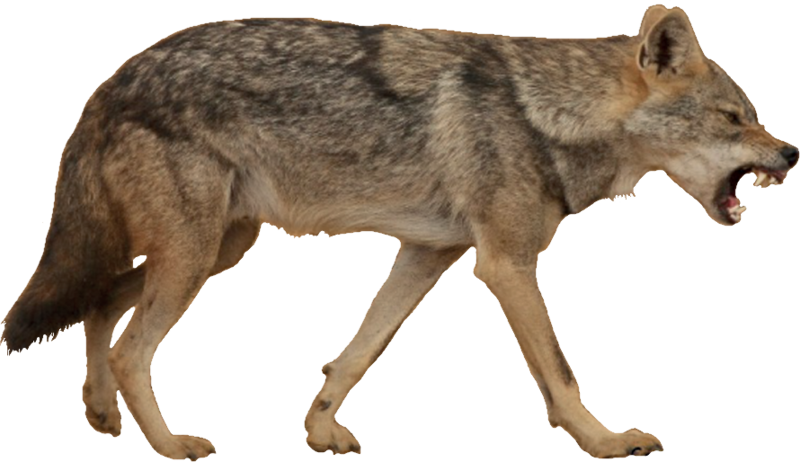 Download Free png Jackal, coyote PNG, Download PNG image with.