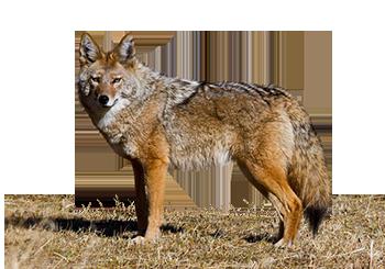 Jackal, Coyote PNG #55447.