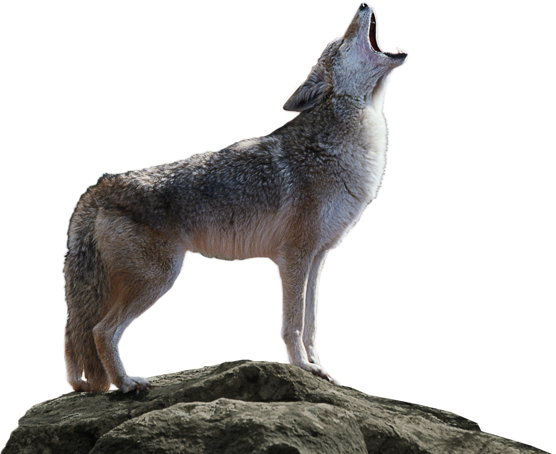Coyote PNG Image Download.
