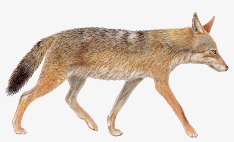 Jackal, Coyote Png.
