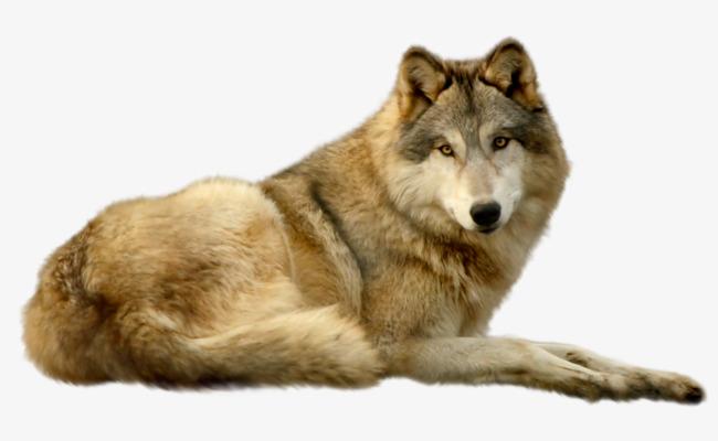 Coyote Brown, Coyote, Carnivorous, Anima #55438.