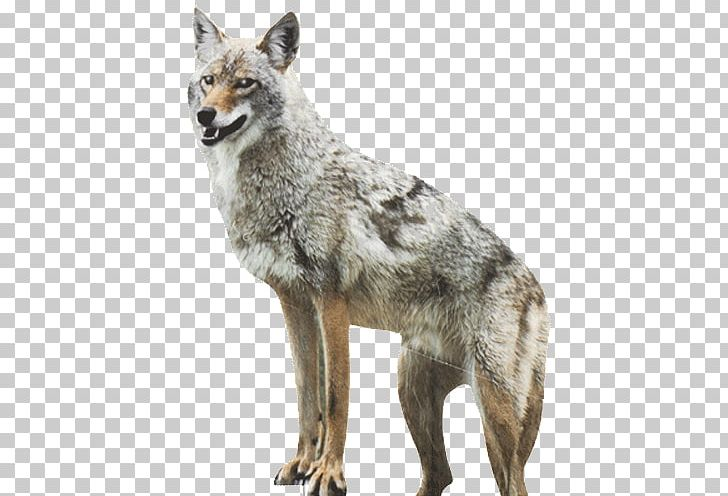 Coyote Dog Red Fox Duck Goose PNG, Clipart, Animals, Bait, Bird.