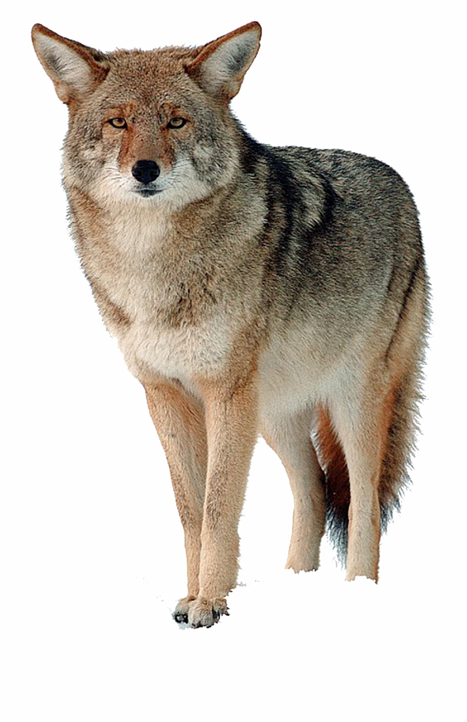 Coyote Png Free Download.