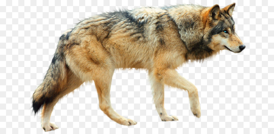 Coyote PNG HD Transparent Coyote HD.PNG Images..