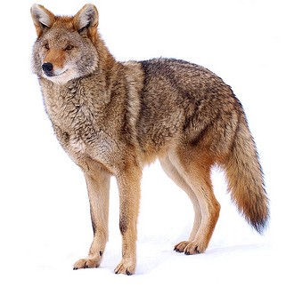 Coyote Png (109+ images in Collection) Page 1.