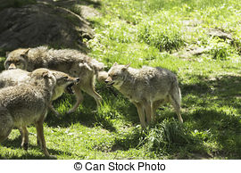 Coyotes Stock Illustrations. 1,168 Coyotes clip art images and.