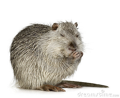 Coypu Or Nutria Stock Photos.