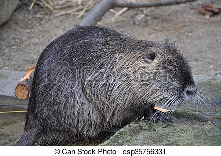 Stock Photos of Coypu aka Nutria mammal animal.