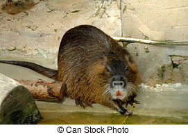 Coypu Stock Photos and Images. 371 Coypu pictures and royalty free.