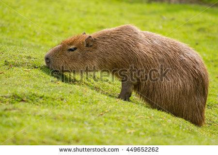 Nutria rat in water clipart.