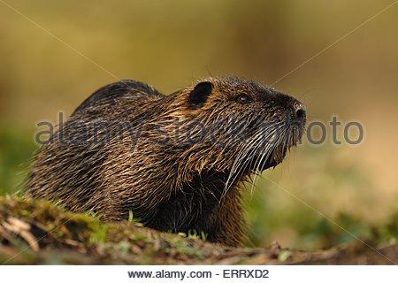 Brown Rats Stock Photos & Brown Rats Stock Images.