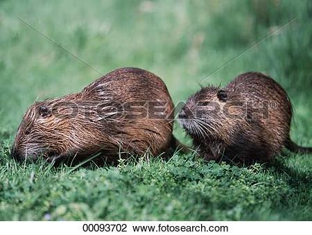 Stock Photo of Castor, Castoridae, Juniors, Myocastor, animal.
