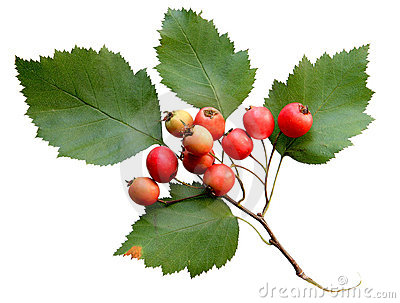 Crabapple Fruits Stock Photo.
