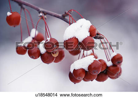 Stock Photo of View of crab apples fruit and snow, Monteregie.