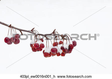 Stock Photo of View of fresh snow on crab apples hanging from a.